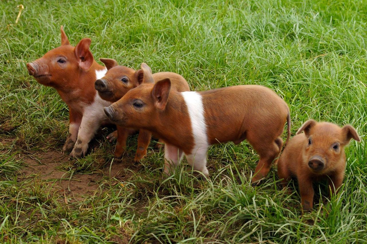 Close Up View Of Brown Small Pigs On Grass Field