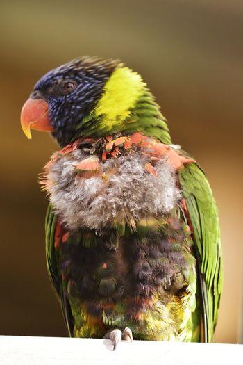 Wildlife Bird Multi Colored Close-up Rainbow Lorikeet Tropical Bird Green Background HEAD