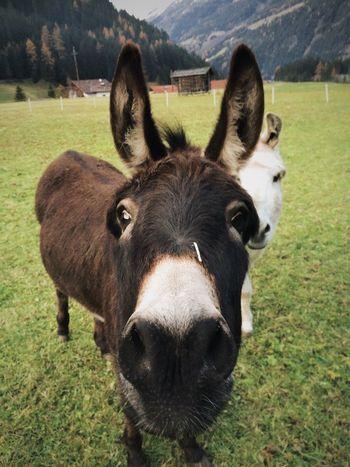 Donkeys Alps Green Grass Getting Closer
