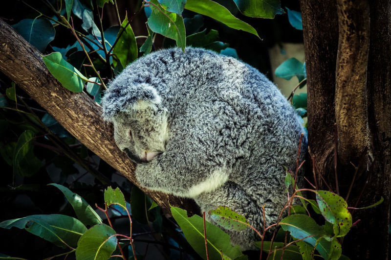 Animal Themes Animal Wildlife Animals In The Wild Branch Close-up Day Full Length Koala Leaf Mammal Nature No People One Animal Outdoors Tree