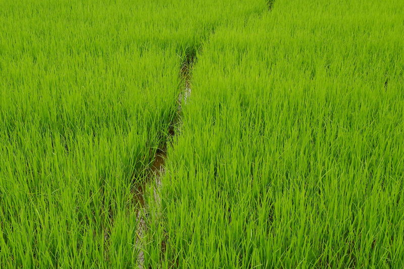 Green rice fields Plant Green Color Beauty In Nature Nature Outdoors Day Rice Field Nature Eyeem Nature View