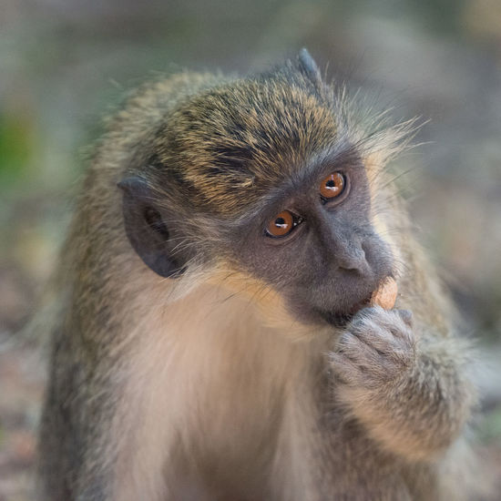 Monkey Nuts Primate Animal Wildlife Animals In The Wild Mammal One Animal Vertebrate Focus On Foreground Close-up Looking No People Day Looking Away Nature Portrait Outdoors Vervet Monkey Monkey Nuts Eyes Gambia  Eating Banjul Monkey Nuts Forest Dinner