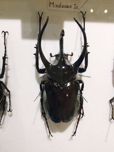 EyeEm Selects Insect Indoors  Animal Themes No People Animals In The Wild Close-up Day Stag Beetle クワガタ クワガタムシ 鍬形 Insect Photography