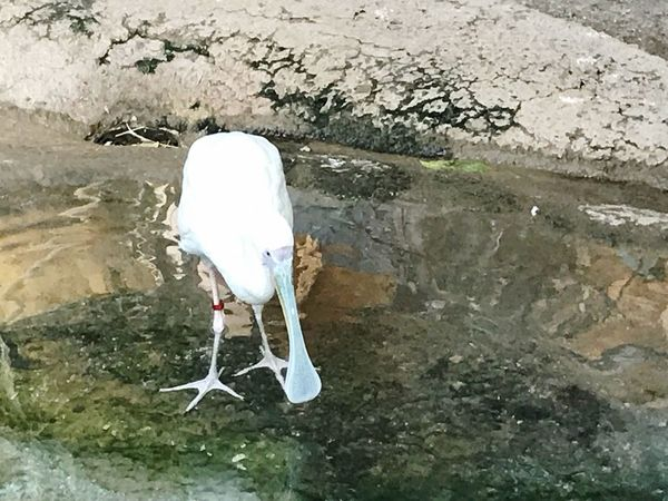 Zoo / Indoor Photography series: African Spoonbill Bird In Captivity African Spoonbill Animal Themes Vertebrate Bird Animal One Animal Water Animals In The Wild Animal Wildlife White Color Reflection No People High Angle View Water Bird Nature Day Plant