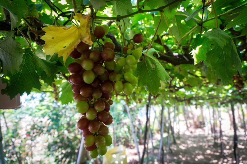 Grapes EyeEmNewHere Agriculture Bunch Day Focus On Foreground Food Food And Drink Freshness Fruit Grapes Green Color Growth Hanging Healthy Eating Leaf Nature No People Outdoors Plant Plant Part Plantation Ripe Tree Vineyard Wellbeing Winemaking