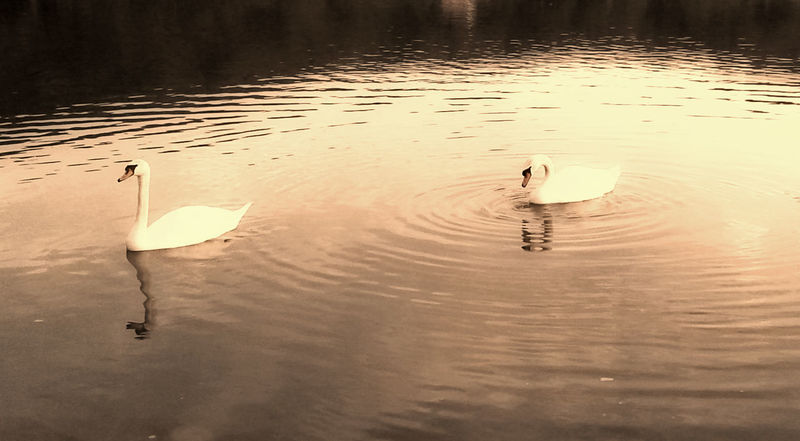 Animals Beauty In Nature Floating On Water Idyllic Lake Mobile Photography Mobilephoto Mobilephotography Nature Nature No People Outdoors Petsandanimals Scenics Swan Swans Water Water Bird