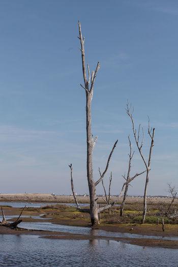 Dead trees stand tall and stark in a California marsh in summer. Blue Sky Bolsa Chica Bolsa Chica Wetlands Brackish Water California Dead Tree Death Huntington Beach Marsh Tree Water Wildlife Preserve
