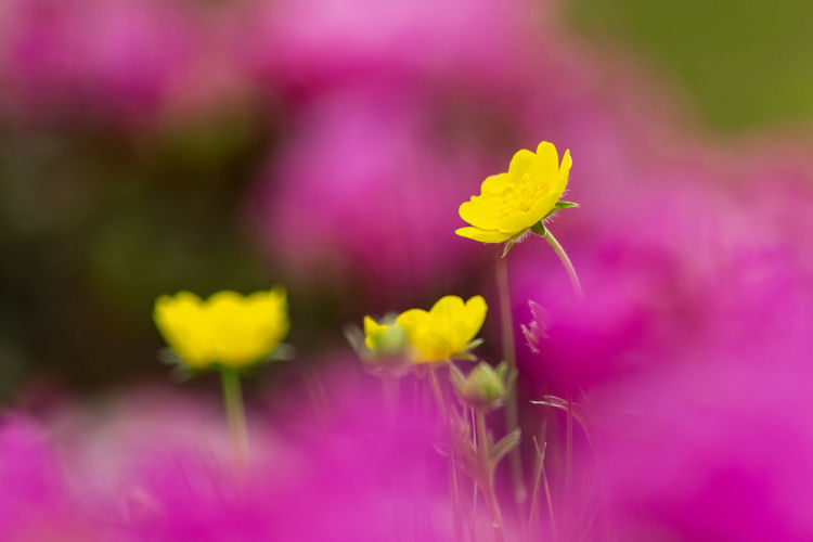 Beauty In Nature Close-up Day Flower Flower Head Flowering Plant Fragility Freshness Growth Inflorescence Nature No People Outdoors Petal Pink Color Plant Pollen Purple Selective Focus Spring Springtime Vulnerability  Yellow