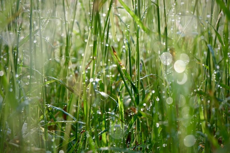 Plant Growth Green Color Beauty In Nature Nature Grass Water Freshness Field Drop Selective Focus Day Land No People Tranquility Close-up Fragility Vulnerability  Wet Blade Of Grass Outdoors Dew Purity RainDrop