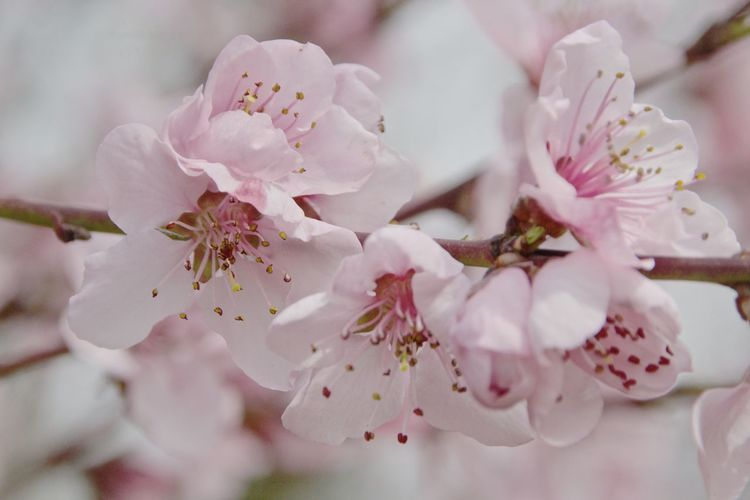 Beauty In Nature Flower Outdoors Peach Flowers Petal Pink Color Tree