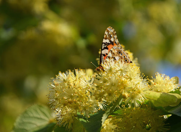 Colorful butterfly pollinating on linden tree blossoms close up Bloom Blooming Blossom Butterfly Close Up Close-up Flowers Honey Insect Insects  Lime Lime Tree Linden Linden Tree Moth Nature Pollination Season  Summer Summertime Wildlife Yellow