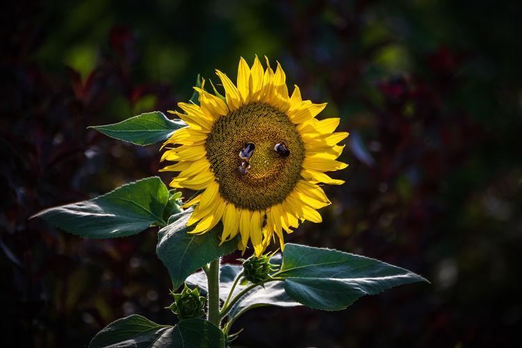 A really friendly smiling Sunflower. Have a nice and sunny day :) Smiling Flowers Animals In The Wild Beauty In Nature Close-up Flower Flower Head Flowering Plant Focus On Foreground Fragility Growth Nature No People Outdoors Petal Plant Plant Part Pollen Pollination Smile Sonnenblume Sunflower Vulnerability  Yellow