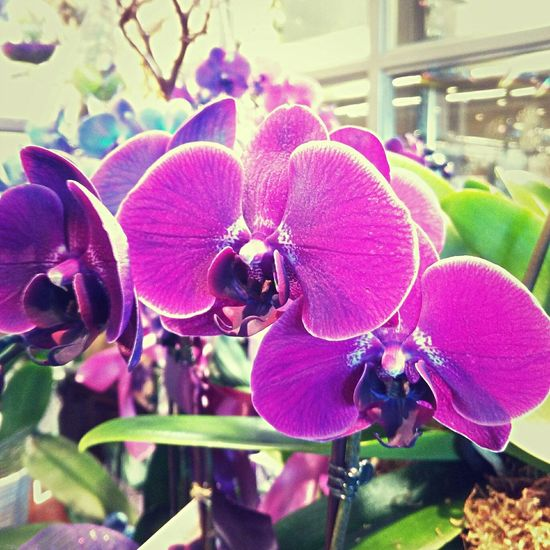 Ready for Purchase Walkabout Flowerporn Orchids Taking Photos Grocery Badmonkeyla Photography Favorites Enjoying Life West Hollywood California Simplicity Moments Of Color Flowers Beautiful