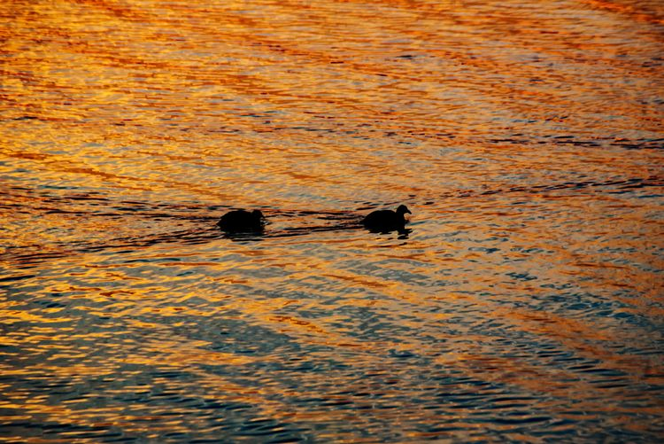 Nature High Angle View Animal Themes Sunset No People Animals In The Wild Outdoors Water Day Togetherness Bird Mammal Beauty In Nature