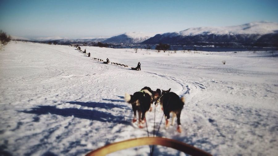 Row of dog sledges walking in snow