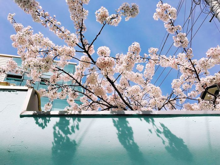 CHERRY BLOSSOMS IN SPRING GROWING OVER WALL