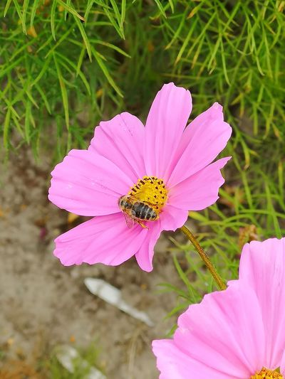 Bssssss Flower Head Flower Pink Color Petal Cosmos Flower Pollen Insect Yellow Close-up Plant