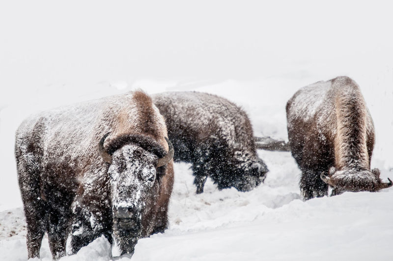Bison on field during winter