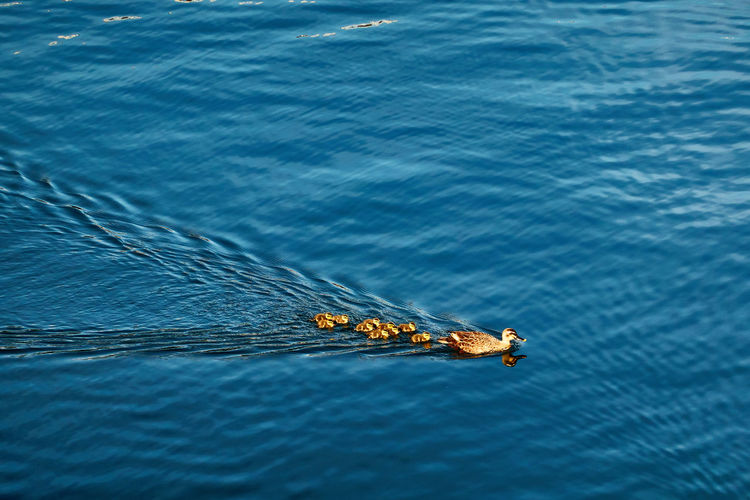 High angle view of bird family swimming in sea