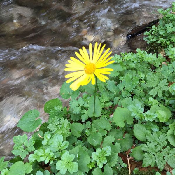 Yellow Flower Yellow Flower Grass River Nature Photography Nature_collection Nature Single Flower