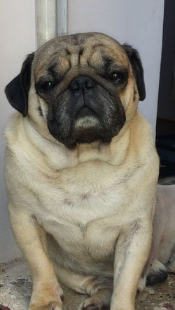 Animal Close Up Animal Lover Animal Photography Animal Themes Attitude Close-up Dog Dog Attitude Dog Expression Domestic Animals Extreme Close-up Front View Headshot Looking Looking At Camera Loyalty No People One Animal Pampered Pets Pet Pug Pug Close Up Pug Life  Zoology
