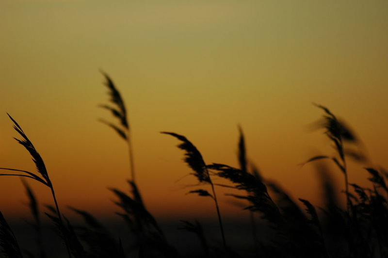 Silhouette of grass growing on field