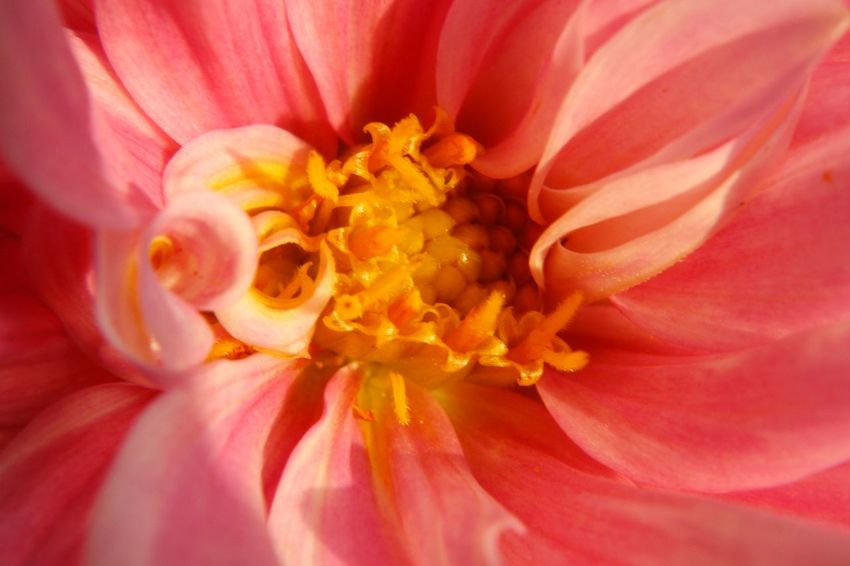 Dahlia Flower Taking Photos Check This Out Hello World Dahlia Hurdegaryp Friesland