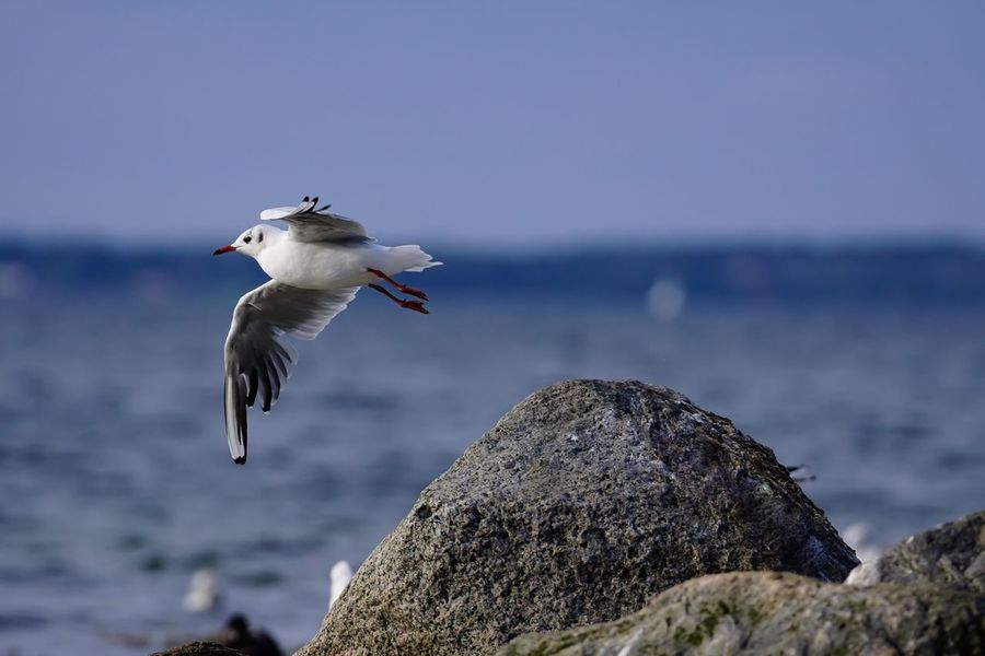 Lachmöwe Gull Flying One Animal Animals In The Wild Seagull Bird Flensburger Förde Ostsee Baltic Sea Germany Water Bird Animals In The Wild Wildlife Nature