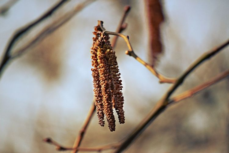 Close-up of dry catkins