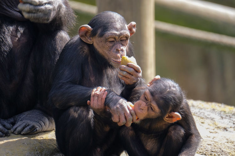 Monkey with infant eating food
