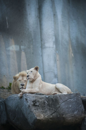 White lion and lioness in cave at zoo