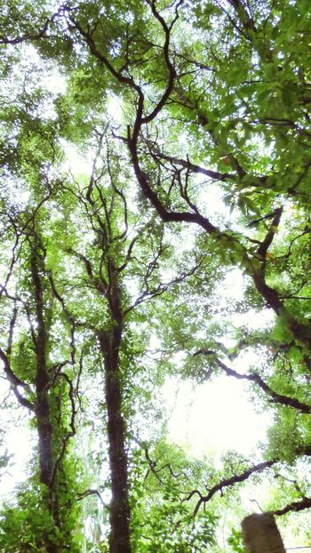 The Trees And Sky Tree Trunk Trees Collection Green Leafs Green Outdoors Fresh On Eyeem  Fresh on Market 2016 Fresh On The EyeEm Looking Up Low Angle View Nature_collection Eyeemphotography Eyeem Photography