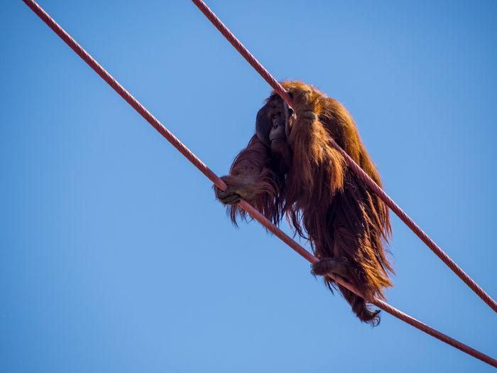 An orangutan climbing on cables against a blue sky.