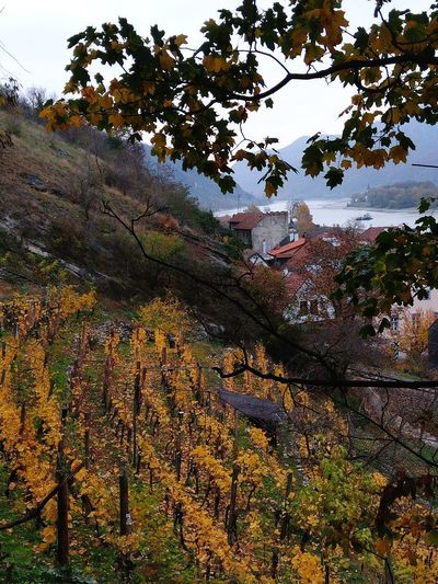 November vineyards Vineyard Vineyards In Autumn Danube Danube River Wachau Danube Valley Autumn Autumn colors Autumn Leaves Fall Fall Beauty Fall Leaves Austria Austrian Nature Tree Sky Cultivated Land Calm Countryside Agricultural Field
