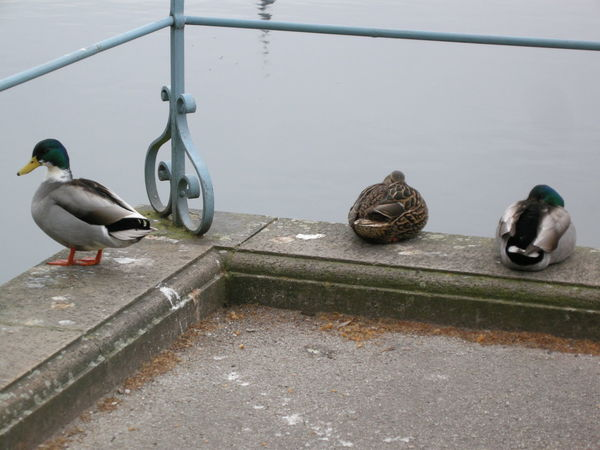 Animal Themes Animals In The Wild Bird Day Duck High Angle View Medium Group Of Animals Metal No People One Animal Outdoors Perching Pigeon Railing Seagull Street Three Animals Two Animals Water Wildlife