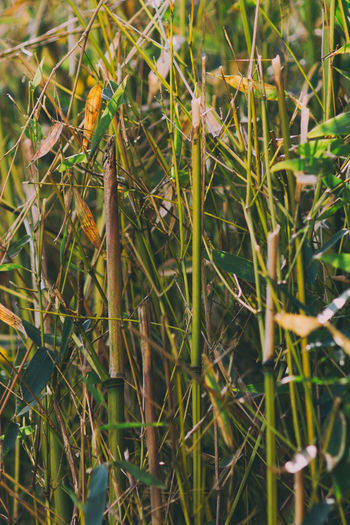 Bamboo Bamboo -