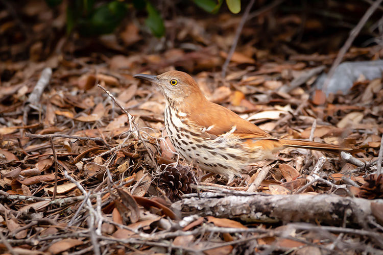 One Animal Animal Themes Animal Animal Wildlife Animals In The Wild Vertebrate Bird Land No People Nature Selective Focus Day Dry Field Close-up Outdoors Plant Part Leaf Perching Focus On Foreground