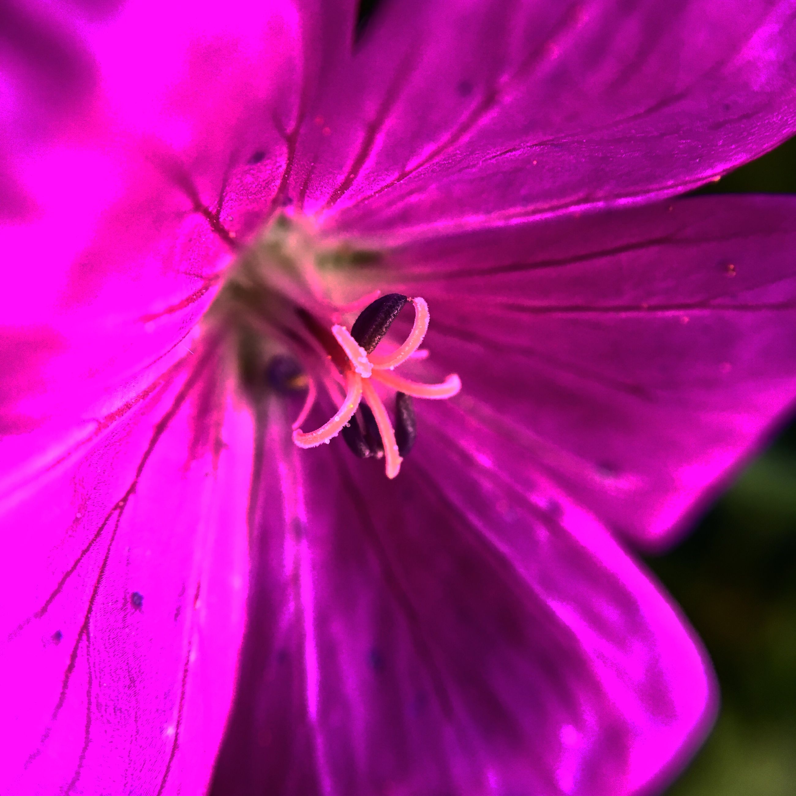 flower, petal, freshness, flower head, fragility, growth, beauty in nature, stamen, close-up, single flower, pink color, nature, purple, pollen, macro, blossom, in bloom, backgrounds, blooming, extreme close-up