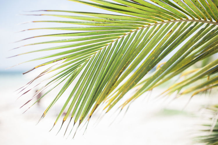 Beach Beauty In Nature Blue Sky Cayo Jutías Close-up Day Focus On Foreground Green Growth Landscape Leaf Nature Nature Outdoors Palm Leaf Palm Tree Sky Tree White Sand White Sand Beach
