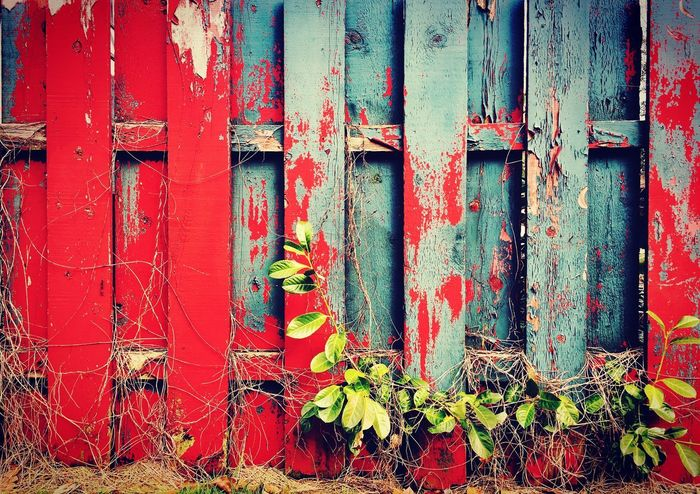 Weathered wooden fence with distressed red and blue paint on a sunny day. Aged Aged Wood Weathered Weathered Wood Weathered Fence Distressed Wood Background Backgrounds Wood Background Texture Peeling Paint Vintage Plank Slats Wooden Fence