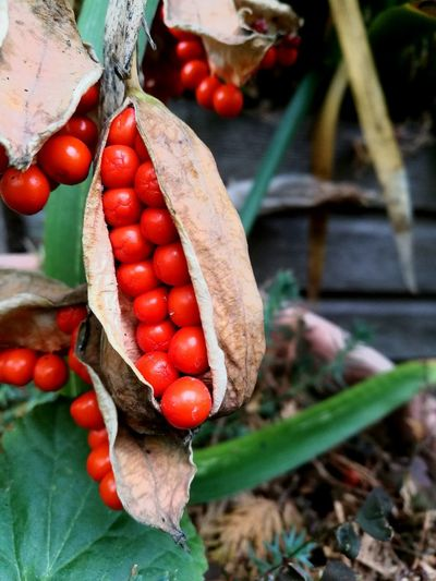 Red Growth Vegetable Fruit Agriculture Freshness Outdoors Day No People Nature Close-up Fragility Beauty In Nature Flower Plant Flower Head Blooming Autumn Leaf