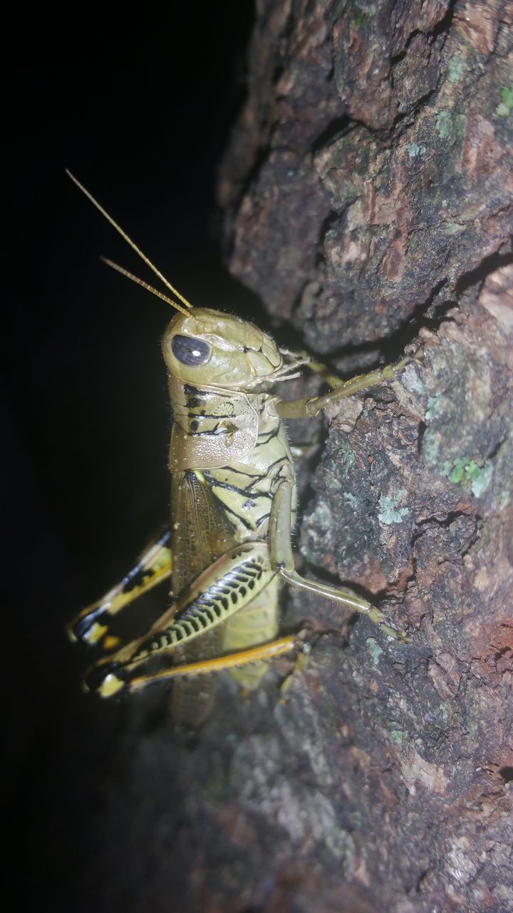 one animal, animal themes, insect, animals in the wild, no people, close-up, animal wildlife, day, grasshopper, outdoors, nature