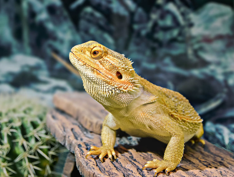 Animal Themes Animal Wildlife Animals In The Wild Bearded Agama Bearded Dragon Close-up Day Iguana Lizard Nature No People One Animal Outdoors Reptile