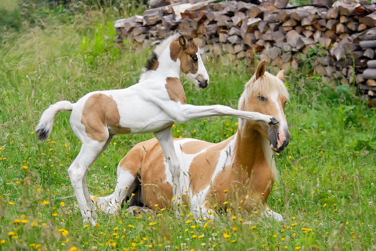 Pony foal kicks its mother with its front hoof, it wants to play. Coat color pinto with tobiano patterns also called skewbald. Capture The Moment Fresh On Eyeem FUNNY ANIMALS Fun Horses Kick Ponies Pony Animal Themes Capture The Right Moment Cheeky Crazy Moments Foal Forefeet Funny Pics Hoof Horse Kicking Mother And Baby Animal Nature Pinto Play Playing Skewbald Tobiano Togetherness