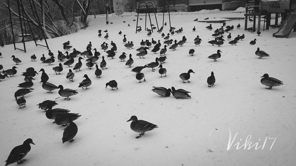 Small And Swift Ducks Nature Snow ❄☺🐦🐤 Birds_collection The Birds