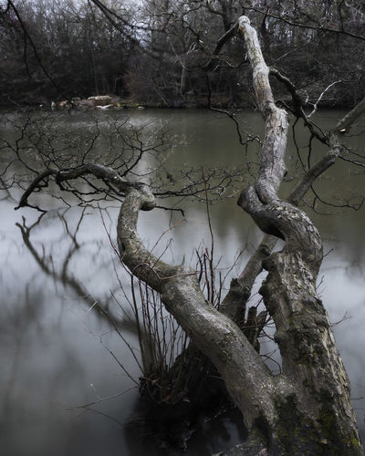 Bare tree by lake in forest