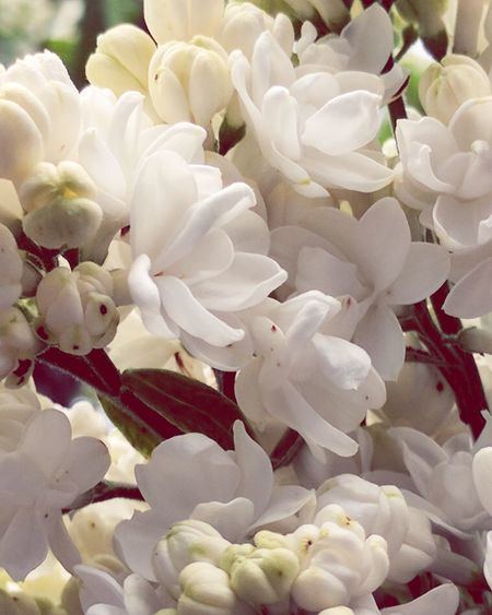 White Lilac Flower Petal Plant Close-up Beauty In Nature Growth Flower Head No People Blossom Beauty Nature Is Amazing! Tree Dainty Flowers Beautiful Flowers Bee Food Nature Silence