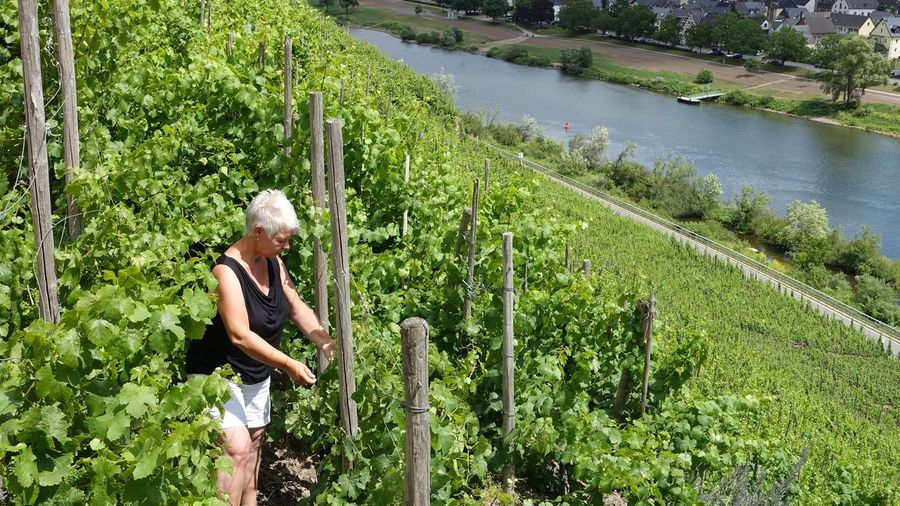 Side view of a woman working in a vineyard