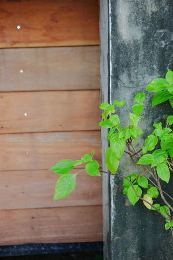 Close-up of leaves against wooden wall