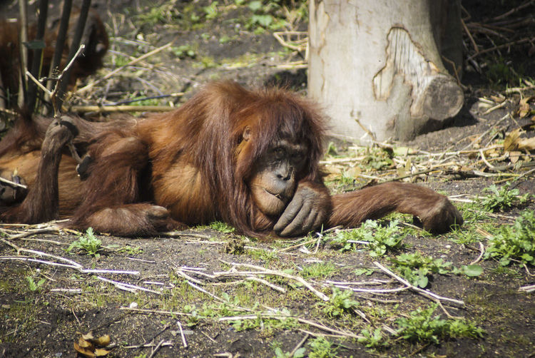 Animal Themes Animals Animals In The Wild Conservation Day Endangered Species Grass Mammal Nature No People Orang Utan Outdoors Zoo